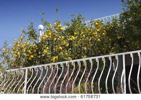 Lemon tree against blue sky