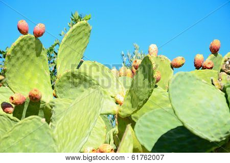 Cacti With Fruit Closeup