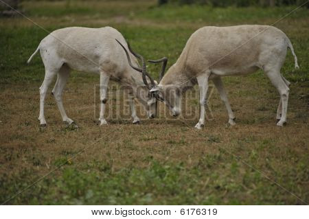 Male Impalas Fighting In The Wild