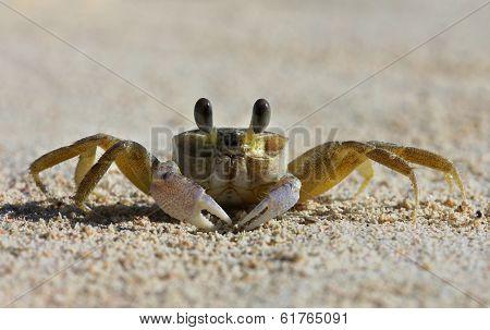 A tropical yellow Caribbean crab on a beach