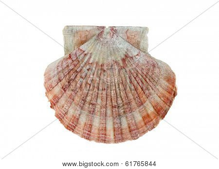 Scallop shell isolated on white background