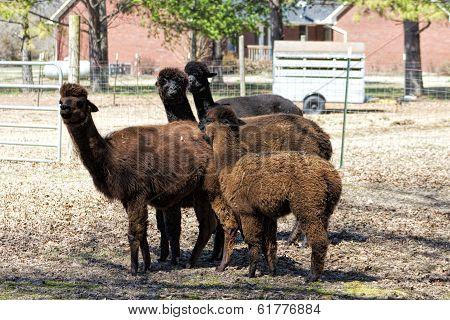 Peruvian Alpaca Group - Vicugna pacos
