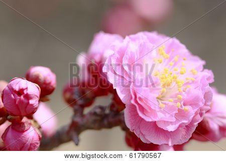Ume Japanese Plum-blossom