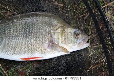 Head of large Perch.