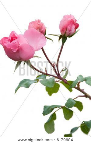 Pink roses isolated