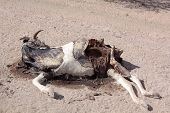 stock photo of cow skeleton  - cows died due to thirst and hunger in Somalia Africa - JPG