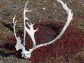 picture of caribou  - Caribou Rack bleaches and forgotten by Inuit hunters in the summer of 2005 - JPG