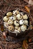 High angle view of an old bucket filled with Quail eggs. The pail is amongst acorns, pine needles an