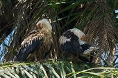 Two Palm-nut Vultures Preening In A Palm Tree