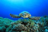 foto of hawksbill turtle  - Hawksbill Sea Turtle - JPG
