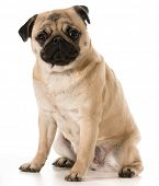 image of pug  - pug looking at viewer sitting isolated on white background - JPG