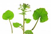 picture of cruciferous  - Wasabi  - JPG