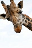 image of nacked  - Giraffe with sad face  - JPG