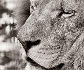 stock photo of leo  - Black and white photo of Barbary lion  - JPG