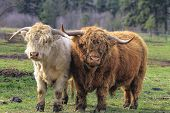 image of cattle breeding  - Kyloe Highland Cattle Pair Bull Cow Scottish Breed - JPG