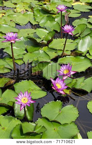 A Beautiful Water Lily Display
