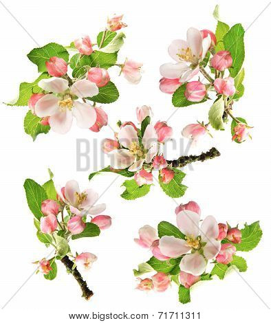 Blossoms Of Apple Tree Isolated On White