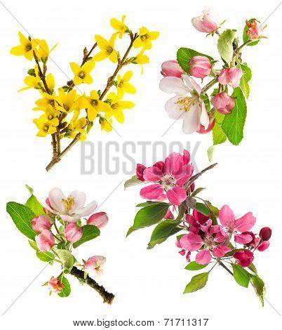 Blossoms Of Apple Tree, Cherry Twig, Forsythia