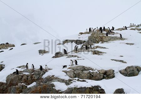 Small Colony Of Gentoo Penguins On The Rocks Of The Antarctic Islands