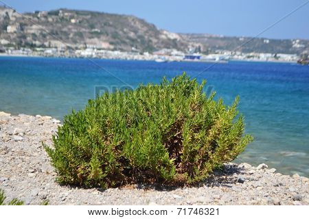 Bush On The Shore Of Aegean Sea