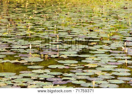 waterlily, lotus flowers in pond