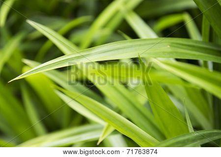 Pandanus Leaf