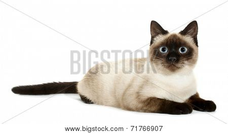 Brown beige cat with blue eyes lies down