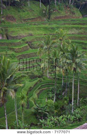 Bali  Terrace Ricefield And Palm 4