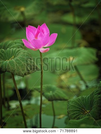 Lotus Flower Half-blown