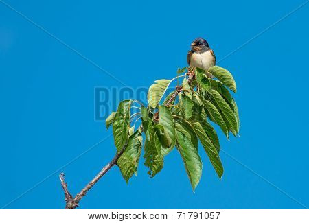 Swallow sitting on Cherry Tree Branch