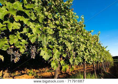 Ripe Grapes in Sunny Vine Yard