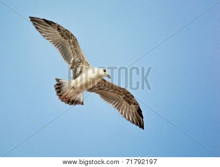 Seagull with Widespread Wings