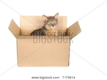 Abyssinian Cat In Paper Box
