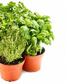 pic of mint-green  - fresh green herbs in gardening pots on white background - JPG