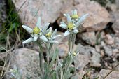 stock photo of edelweiss  - Edelweisses is an alpine perennial plant native to mountains of Europe and Middle Asia. This is the flowers from Tian Shan Mountains ( Kazakhstan). ** Note: Soft Focus at 100%, best at smaller sizes - JPG