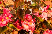 image of begonias  - Bush of begonia flowers succulent plant with green and brown tender leaves brtanches and trunk - JPG