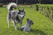 foto of stray dog  - Obedient large adult Alaskan Malamute male dog standing near a stray dog resting in the green grass - JPG