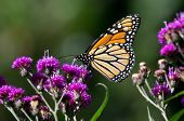 stock photo of monarch  - Monarch butterfly is a milkweed butterfly in the family Nymphalidae - JPG