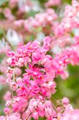 pic of creeper  - close up Mexican Creeper Chain of Love flower with and bee in the garden - JPG