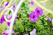 image of petunia  - Petunia or Petunia Hybrida Vilm in the garden or nature park - JPG