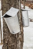 pic of spigot  - Maple Sap buckets Closeup on trees in spring - JPG