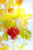 foto of rowan berry  - Bright autumn background with rowan berries in the sun - JPG