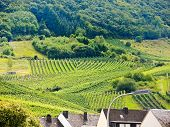 picture of moselle  - vineyard on green hills in Moselle region Germany  - JPG
