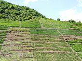 stock photo of moselle  - vineyards on green hills in Moselle district Germany - JPG