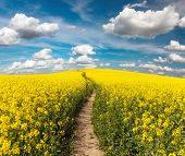 pic of turnip greens  - Field of rapeseed with rural road and beautiful cloud  - JPG