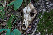 pic of backwoods  - Old skull of a predator in the backwoods.