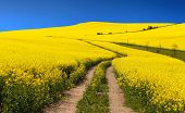 pic of turnip greens  - Field of rapeseed  - JPG