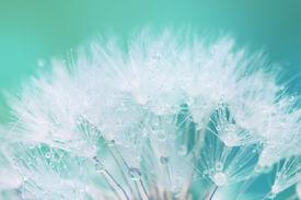 stock photo of dandelion seed  - Tender White Dandelion seed with water drops   - JPG