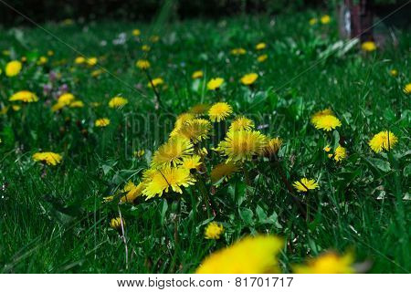 young dandelions grow in the meadow