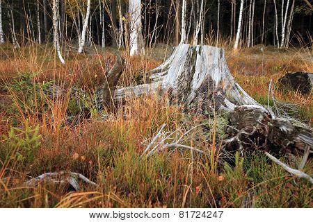 Dry stump.